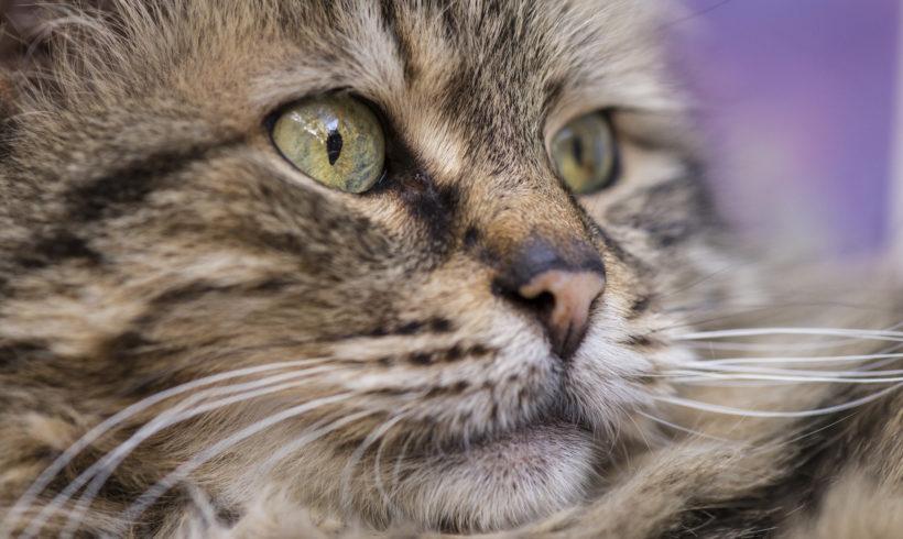 ¿Qué es el FIV? ¿Es el SIDA felino?